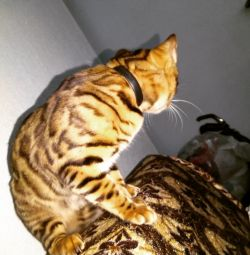 Bengal γατάκι