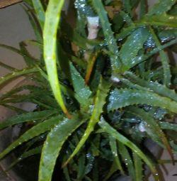 Aloe-vindecare.