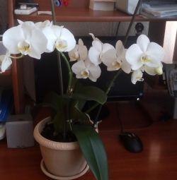 Copii orhidee