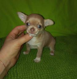 Fetița Chihuahua.
