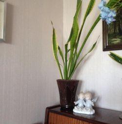 Цветок комнатный