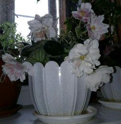 Violet roz roz