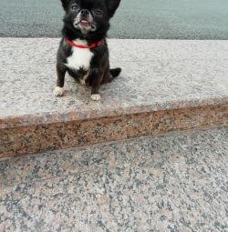 Deneyimli bir Chihuahua. yavru