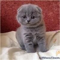 Shustriki kittens