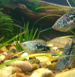 Akvaryum balıkları Gurami mermeri.