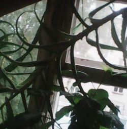 Φυτά αλόης