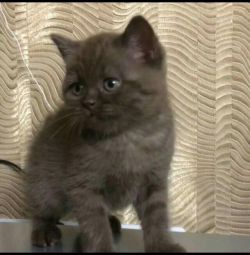 İskoç yavru kedi