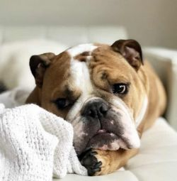 Lovely English bulldog