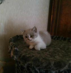 Chic British Kittens