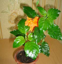 Crassandra orange and white