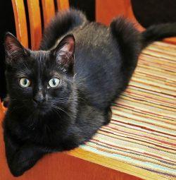 Pisicuță tânără pentru animale de companie Utah