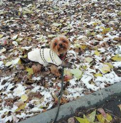 Knitting Yorkshire Terrier