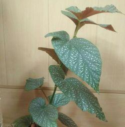 Indoor flower, begonia.