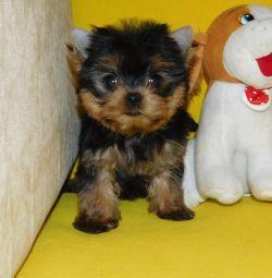 Αγόρια και κορίτσια yorkshire terrier