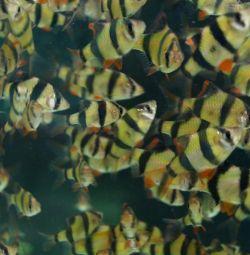 Pește de acvariu barbus glo green