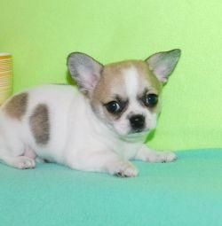 Κόκκινα, μαύρα κουτάβια Chihuahua με σοκολάτα