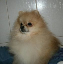 Mating, Spitz teddyboy looking for a girlfriend