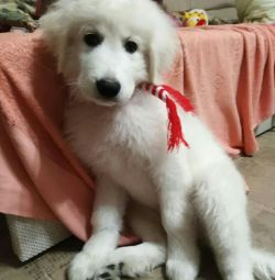 Puppies Maremma - Ciobanesc Abruck.