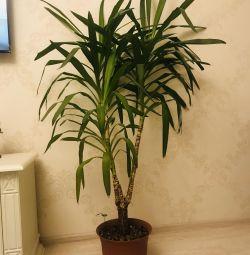 Yucca Palma 🌴