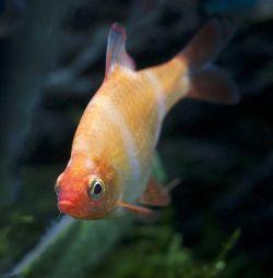 Akvaryum balıkları Barbus Sumatran albino.