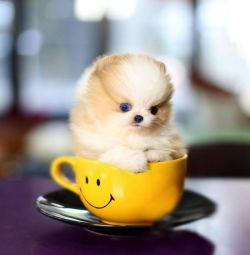 Micro Pomeranian Ready to go
