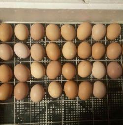 την εκκόλαψη αυγό κοτόπουλου