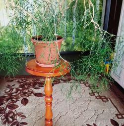 Euphorbia çiçek yaprakları olmadan