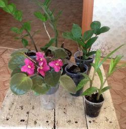 Zamioculcas, varietal. Violets, dreamiopsis, feces