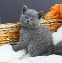Yavru kedi İngiliz