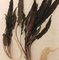 Cryptocoryne. Bir akvaryum için bitki.