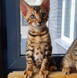 Бенгал бронь котята бенгальские котeнок кошка кот