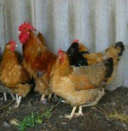 Young cockerels