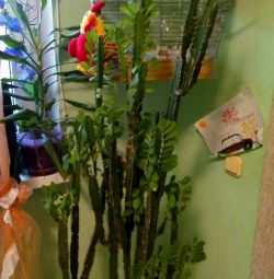 Euphorbia kids