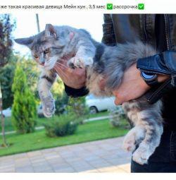 Kitty Giant