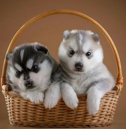 ΑΝΤΑΛΛΑΚΤΙΚΑ !!! Γλυκά Σιβηρίας Husky κουτάβια!