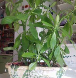 tulichina