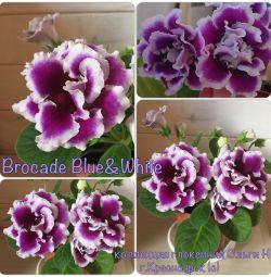 Înflorit Broxă Gloxinia Brocadă albastru și alb
