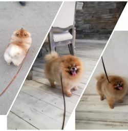 Mating puppies