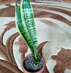 Sansevera indoor flower