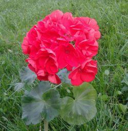 Pelargonium Ainsdale Duke