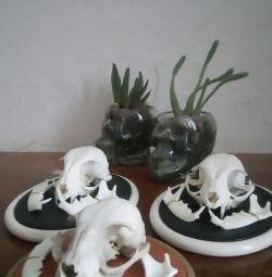 skull of a cat