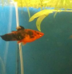 Swordtails to feed