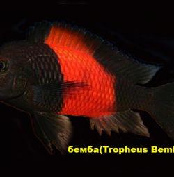 Trophy ellite fish