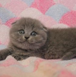 fold blue kittens