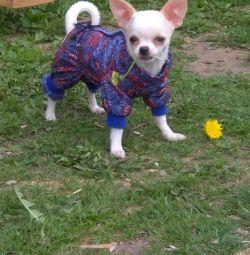 Chihuahua (băiat)