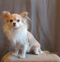 Chihuahua d / w boy