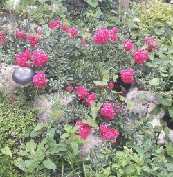 Роза почвокровная стелещаяся