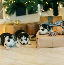 Exchange of Siberian Husky Puppies from the Grand Champion