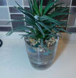 Florarium Haworthia