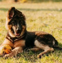 I will sell puppies of a German shepherd